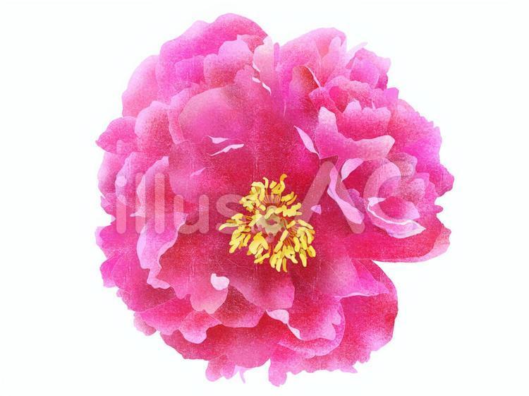 牡丹の花(紅色)