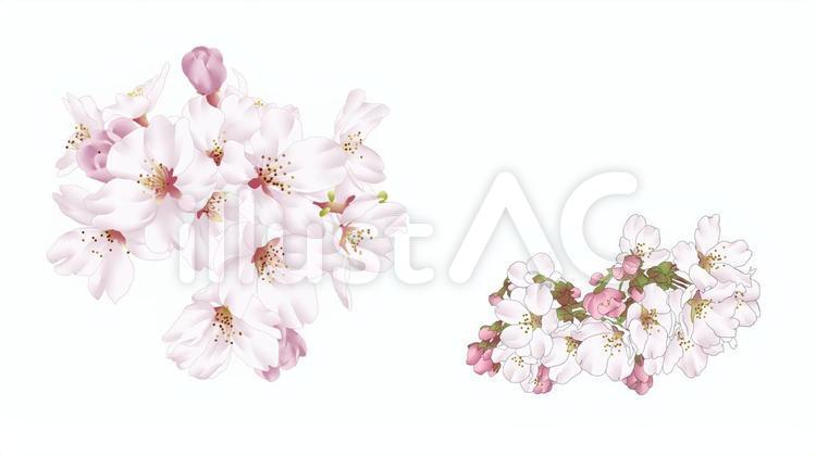 桜の花・3