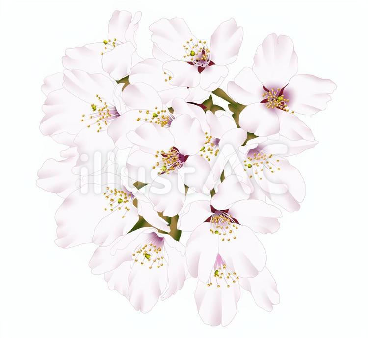 桜の花・2