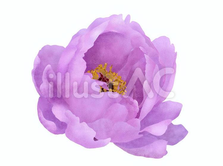 牡丹の花(紫色)2