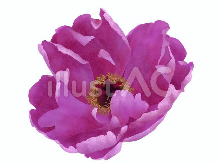 【フリーイラスト素材】牡丹の花(紫色)