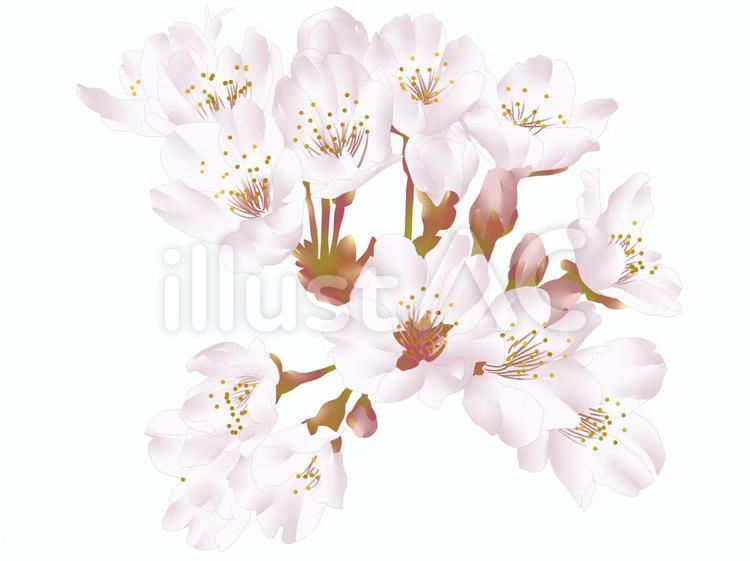 【フリーイラスト素材】桜の花・1