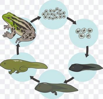 園之蛙的生長
