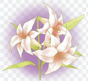 White lily background color present Ⅱ