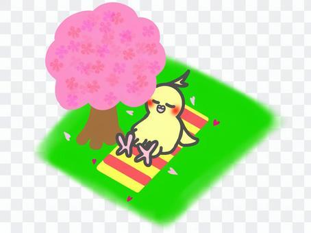 Cockatiel Cherry Tree Hinata Bokko
