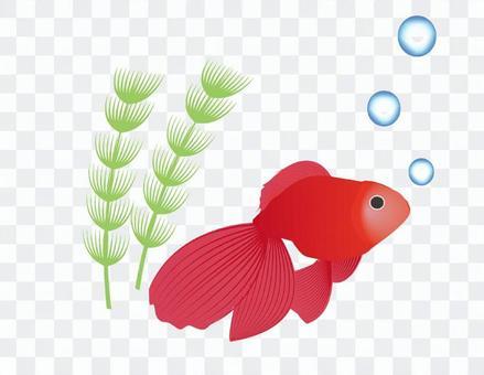 金魚的插圖(側身)