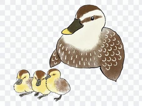 斑嘴鴨父母和孩子02