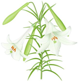 Lilium formosanum / 3