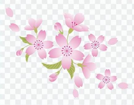 櫻花 - 白背