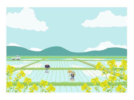 水稻和油菜籽季節