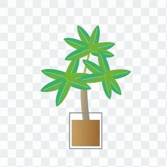 Houseplant - Chefrera (hydroculture)