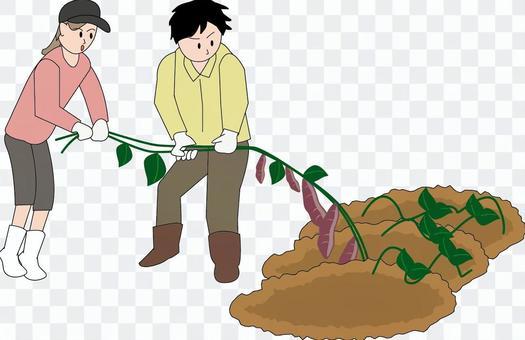 芋堀り 芋 収穫 引っ張る 引き抜く 畑
