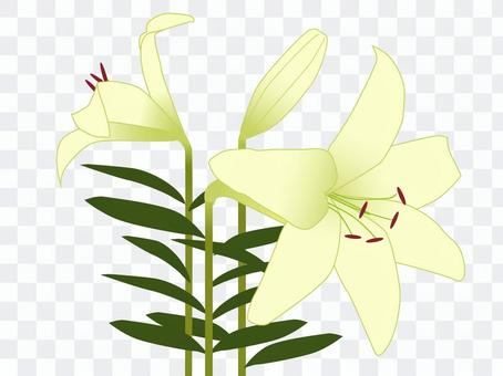 Flower lily lily flower lily