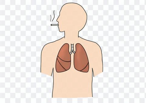 人間 臓器 肺 喫煙
