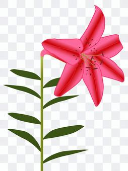 Lily Flower Pink