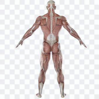 Skeletal muscle back