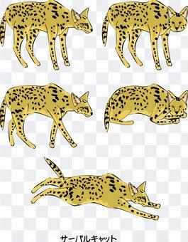 val貓非洲野貓