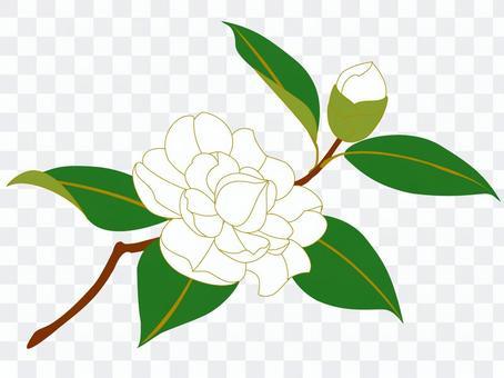 白椿 擬宝珠咲