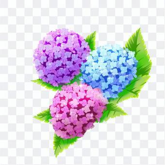 Flower illustration-colorful hydrangea