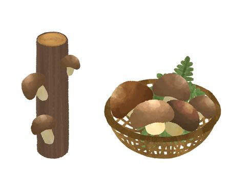 Log Shiitake mushroom picking