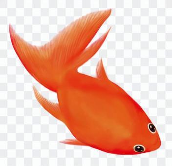 金魚01  - 沒有背景