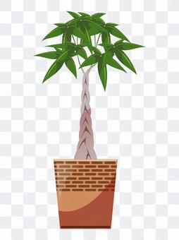 Plant plant Pakira