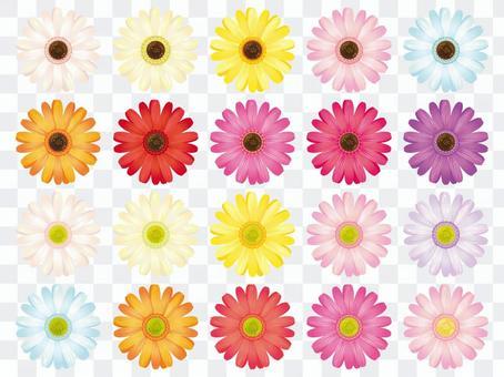 五顏六色的非洲菊花卉分開材料收藏·設置