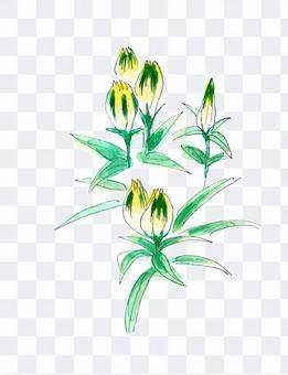 高山植物龍膽草