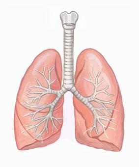 肺和支氣管