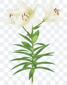 Lily / white lily flower