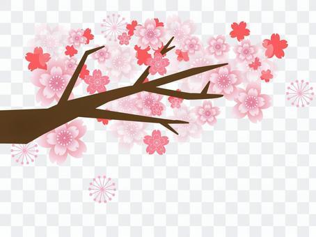 Cherry blossoms full bloom
