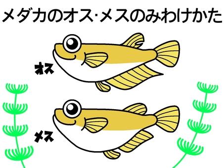 How to separate male and female medaka fish! ️