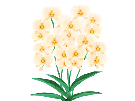 Phalaenopsis (white)