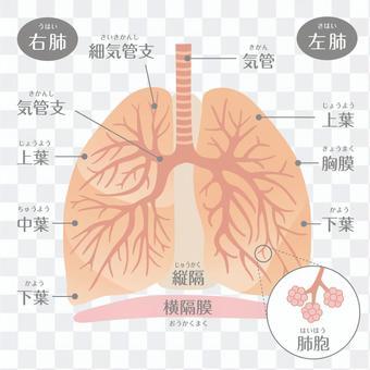 人間の体_肺の構造