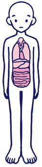 Human body model Human body