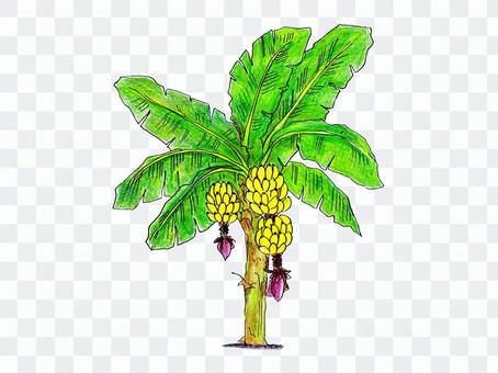バナナの木02