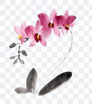 胡蝶蘭(臙脂)