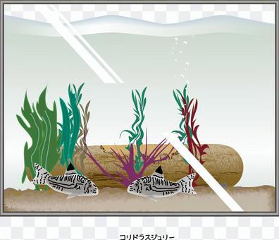Corydoras朱莉水族館魚魚缸