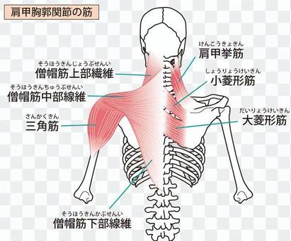 肩胛 - 胸部關節肌肉