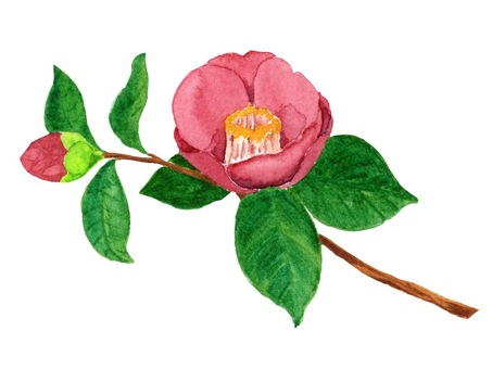 Camellia flowers drawn in watercolor