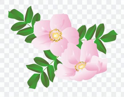 Hamanasu粉紅色