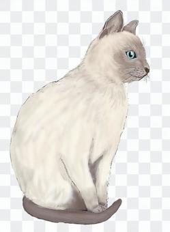 Tonkinese(白金水貂)貓站立