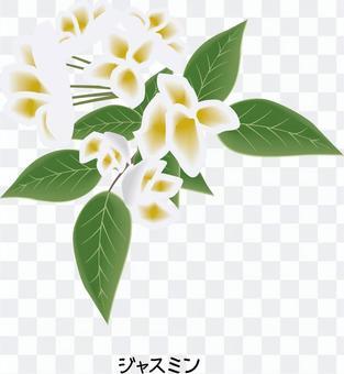 茉莉花木犀科原料