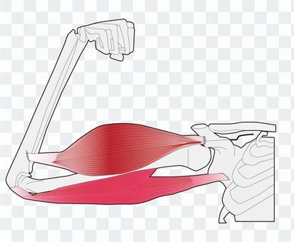 手臂肌肉 - 彎曲