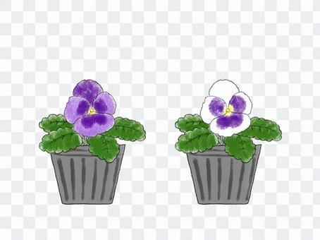 花苗06紫羅蘭