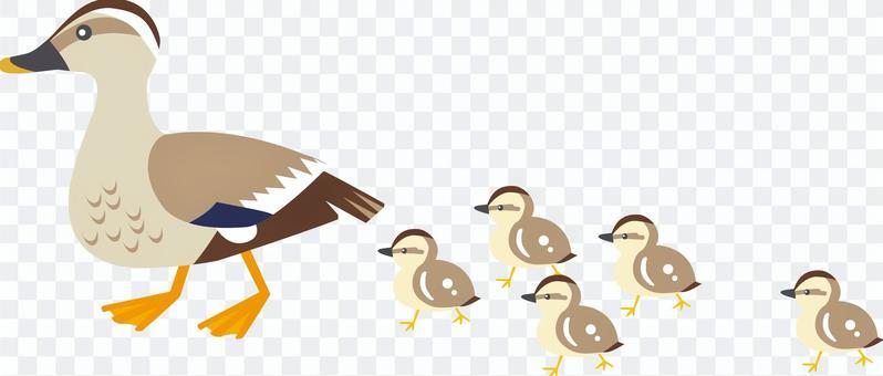 Spot-billed ducks parent and child