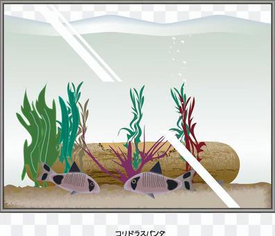 Corydoras熊貓水族館魚魚缸
