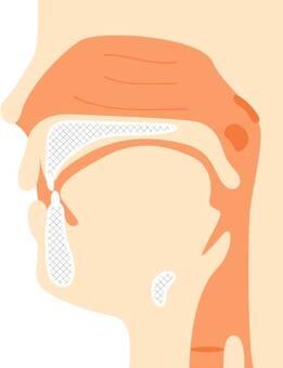 Oral ~ throat (sagittal)
