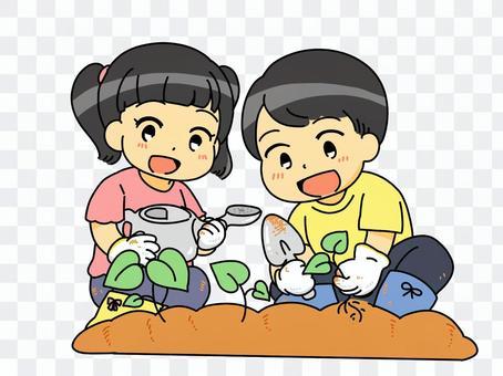 小學紅薯育苗經驗的插圖