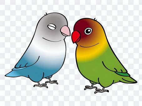 按鈕長尾小鸚鵡(對)